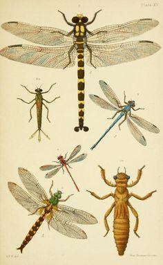 An elementary manual of New Zealand entomology; - Biodiversity Heritage Library. Plate XV