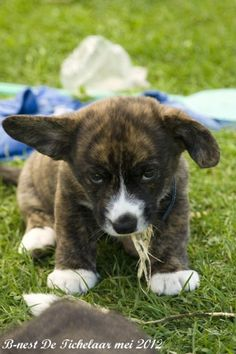 cardigan #corgi dog dogs --- I didn't know they came in brindle!