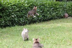 the famous kurilian jump… http://www.truekurilians.com Bobtail Cat, Cattery, Kittens, Kitty Cats, Kitten, Baby Cats