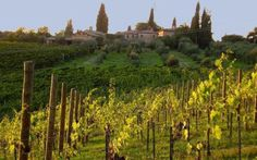 Vinhedo da Toscana - Italy