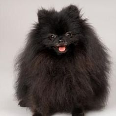 This Pom looks like my grand puppy Gucci...love him!...this is the best breed of dog!....