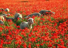 Sheep and Poppies -- two of my favorite things.  How I miss my life in Spain!