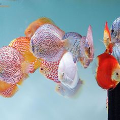 【europadiscuscenter】さんのInstagramをピンしています。 《Discus Colors 🎨 #discus #diskus #diskusfische #aquarium #symphysodon #tropicalfish #discusfarm #discusfish #fish #discusbreeding  #fishfarm #fishtank #fishkeeper #freshwater #discushatchery #freshwaterfish #ディスカス #アクアリウム #魚 #水槽 #熱帯魚 #tropical #breeding #breedingfarm #cichlids #cichliden #cichlid #七彩神仙 #diskusfisch》