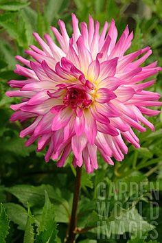Dahlia 'Skipley Gloria K': semi-cactus