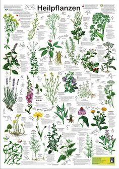 Poison Plants Poster by Planet Poster Editions 59 X 84 cm Paper Thickness 200 g / m² shows 33 poisonous plants- Poisonous Plants, Medicinal Plants, Garden Trees, Garden Plants, Baumgarten, Healing Herbs, Plantation, Botanical Illustration, Herb Garden