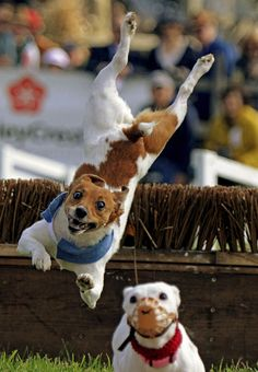 And they catch some SERIOUS air. | 19 Jack Russell Terriers Totally Defying The Laws Of Physics