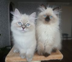 Seal point siberian (neva masquerade) kitten for sale. y-cin@ya.ru