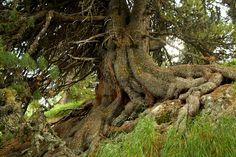 Baumwelten - Wurzelwelt. Zirbe (Arve) im Hochgebirge verwurzelt sich mit unbändiger Kraft im kargen Boden.