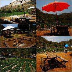 Strawberry Farm in Chiengmai, Thailand