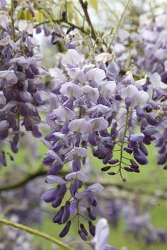 Buy Chinese wisteria Wisteria sinensis Amethyst - Scented violet-blue flowers: 2 lt pot cane): Delivery by Crocus Wisteria Plant, Purple Wisteria, Chinese Wisteria, Climbing Flowers, Jasmine Plant, Garden Images, Seed Starting, Clematis, Garden Inspiration