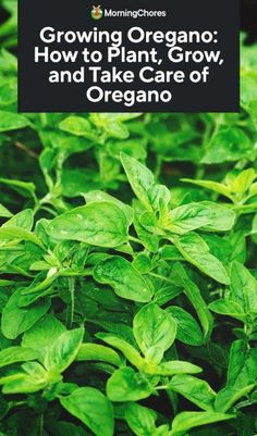 Growing Oregano: How to Plant, Grow, and Take Care of Oregano Want a plant that is problem-free and indespensible in cooking? Growing oregano is easy and you can use it in tons off recipes. Growing Herbs, Growing Vegetables, Outdoor Plants, Garden Plants, Potager Garden, Transplanting Plants, Oregano Plant, Herb Garden Design, Gardens