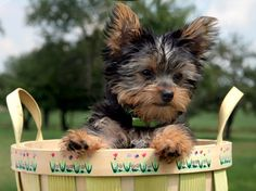 Yorkshire Terrier is one of the most popular dog breeds in the world, and despite their small size, Yorkies have big personalities. Yorkies, Morkie Puppies, Yorkie Puppy, Cute Puppies, Cute Dogs, Dogs And Puppies, Cockapoo Dog, Teacup Yorkie, Puppy Face