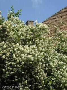 Május+közepétől+virágzik+a+szüleim+kertjében+egy+hatalmasra+nőtt+jezsámenbokor.+Hófehér+virágaival,+édes+illatával+az+egyik+kedvencem.+Már+többször+ki+szerették+volna+vágni,+mert+egyre+inkább+belóg+a+kocsibejáróba,+de+szerencsére+eddig+még+megúszta.A+jezsámen+a…
