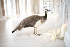 Froyle Park Peacock Peahen Mrs P captured by wedding photographer Juliet mckee. Peacock And Peahen, Wedding Venues, Wedding Photos, Oriental Cat, Park Weddings, Fairytail, Red And White, Black, Spring Wedding