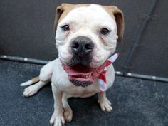 GONE 7-7-2015 --- Manhattan Center MAD MAX – A1042224 NEUTERED MALE, WHITE / TAN, AMER BULLDOG MIX, 6 yrs STRAY – STRAY WAIT, HOLD FOR ID Reason STRAY Intake condition EXAM REQ Intake Date 06/30/2015