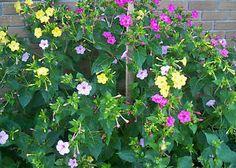 4 o'clock flowers | 100 Mixed Colors 4 O'Clock Flower Seeds Perennials Blooms Til Frost ...