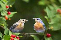 Bluebird Pair By Christina Rollo