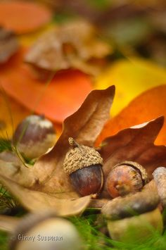⭐ autumn acorns and leaves