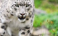 best HD Big Cats Wallpapers images on Pinterest