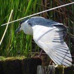"120 Me gusta, 2 comentarios - ハシブト (@hasibuto) en Instagram: ""#ゴイサギ #五位鷺 #サギ #鷺 #鳥 #野鳥 #動物 #自然 #コンデジ #コンデジ写真部 #コンデジ野鳥ハント部  #nightheron #egret #heron #bird…"""