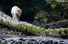 Safarious - Great Bear Rainforest / Max Waugh / Gallery