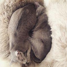 Esteri & Frida, oriental shorthair cats
