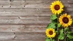 Sonnenblumen säen: So ziehen Sie die Blume in Ihrem Garten