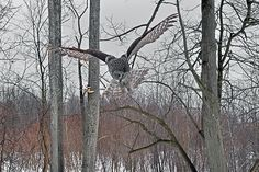 The Great Grey Owl in his hunting