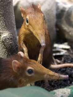 Taming of the Giant Elephant Shrews by Giant Ginkgo, via Flickr