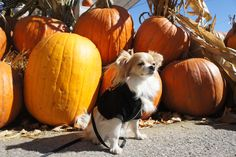 Pumpkin is good for canines!