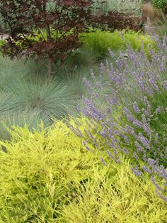 Coleonema 'Sunset Gold' with 'Bloodgood' maple, Festuca 'Elijah Blue' and Lavandula 'Grosso'