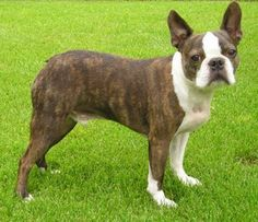 Boston Terrier  Nice brown coloring. Not common in Bostons. They should always have a little on their hindquarters.