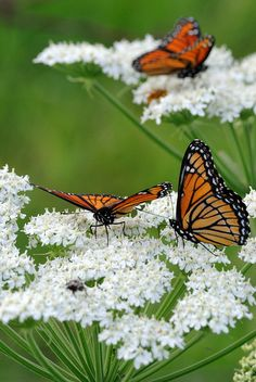 The coloring and pattern of monarch and viceroy wings look nearly identical. However, a viceroy has a black line crossing the postmedian hindwing. Butterfly Kisses, Butterfly Flowers, Monarch Butterfly, Beautiful Bugs, Beautiful Butterflies, Beautiful Flowers, Perro Papillon, Queen Annes Lace, Butterfly Wallpaper