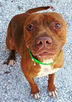 Meet DIEGO, a Petfinder adoptable Pit Bull Terrier Dog | Largo, FL | This is Diego (ID # 27596767). He is a 2 year old Red Terrier American Pit Bull and LOVES a good...