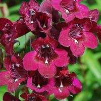 Penstemon geoff hamilton huge burgundy