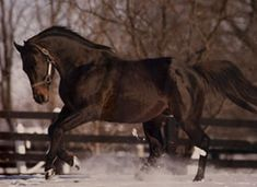 Seattle Slew - After leaving the track with a career racing record of 14 firsts and 2 seconds in 17 races and earnings of $1,208,726, Seattle Slew would go on to become a champion again many times over as a sire. A sire of well over 100 Stakes-winners and a champion Broodmare sire, Seattle Slew has earned the title of 'most complete thoroughbred the industry has ever seen.'