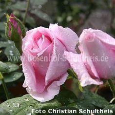 100 - 150  - Felberg's Rosa Druschki - Rosa - Remontantrosen - Historische_Rosen - Rosen - Rosen von Schultheis