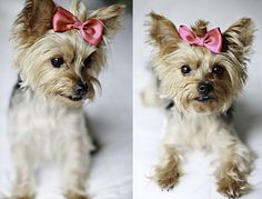 #Yorkshire #yorkie #dogs