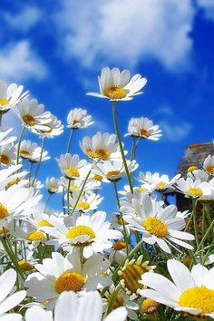 Daisies in springtime