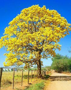 Estrada de Minas Gerais, Brasil. Ipê. GCM Colorful Trees, Armadillo, Heron, Folklore, Landscape Art, Tree Branches, Peace And Love, Fields, Natural Beauty
