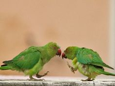 Parrot Dance Move HD wallpaper desktop background images free download from bird animal nature wildlife gallery