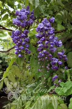 glicynia kwiecista 'Violacea Plena'