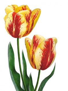 "Anna Mason Art | Tulips 'Grand Perfection' Botanical print from an original watercolor £60 9"" x 12""  Shipped worldwide http://annamasonart.com"