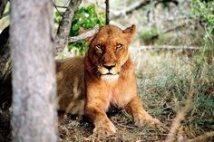 South Africa Puts a Target on Lions:   The country wants to boost trade in the body parts of captive-bred animals, claiming they are no longer endangered.