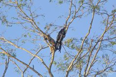 Macaco Bugio