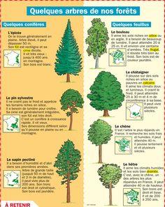 Fiche exposés : Quelques arbres de nos forêts