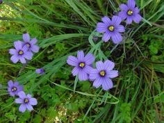 Perennial blue eyed grass wildflower is a member of the Iris family, but it is not a grass at all. It forms clumps of slender long foliage topped in spring with small periwinkle flowers. Learn how to grow it in this article. Rockery Garden, Rock Garden Plants, Garden Soil, Shade Garden, Dry Garden, Xeriscaping, Garden Path, Water Garden, House Plants