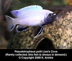 Imagini pentru pseudotropheus polit Fish, Pets, Animals, Animals And Pets, Animales, Animaux, Animal, Animais