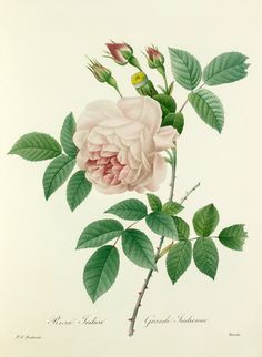 Pierre Joseph Redouté -- Rosa Indica : Grande Indienne -- Rose -- View By Flower -- RHS Prints