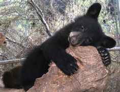 Just some of the friends you will meet in Smoky Mountains visit Stillwater Cold Brew Coffee in Gatlinburg TN Animals And Pets, Baby Animals, Funny Animals, Cute Animals, Bear Cubs, Panda Bear, Black Bear Cub, Love Bear, Woodland Creatures